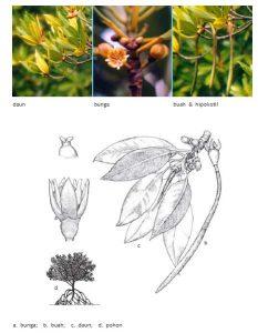 rhizophora
